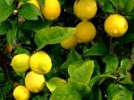 Citron Verna